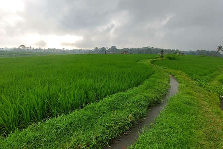 Huge green rice fields and terraces near the jungle of Bali in the Ubud region. Walking paths, rainy season.