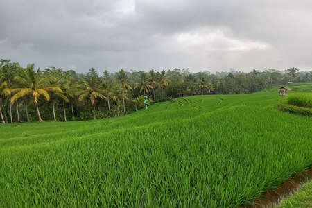 Huge green rice fields and terraces near the jungle of Bali in the Ubud region. Walking paths, rainy Stock Photo