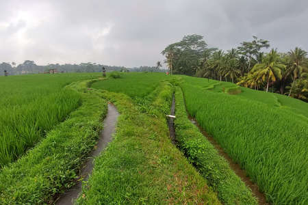 Huge green rice fields and terraces near the jungle of Bali in the Ubud region. Walking paths, good  farming weather
