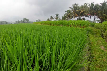 Huge green rice fields and terraces near the jungle of Bali in the Ubud region. Walking paths, rainy season. Rice leaves close up Stock Photo