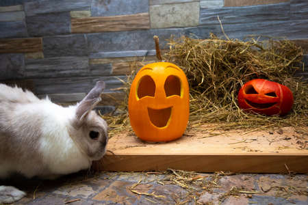 White rabbit is studying pumpkins for Halloween. Red and yellow jack o lanterns on a wooden board and stone wall background Stock Photo