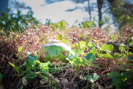 Fresh green coconut is a symbol of Halloween. With a carved face on a pumpkin. Lying on the grass.
