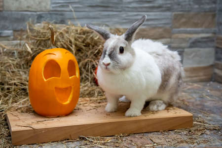 White rabbit and yellow pumpkin halloween symbol on a wooden board on a background of a wall of stone
