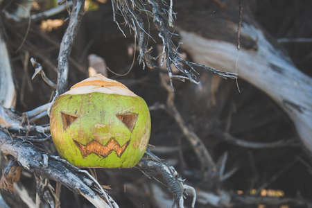 Coconut carved like a pumpkin for Halloween. Like a flashlight jack. It stands in the roots of a tree. The effect of a matte image. Concept of autumn celebration of All Saints Day in the tropics.