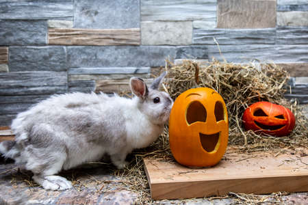 White rabbit is studying pumpkins for Halloween. Red and yellow jack o lanterns on a wooden board and stone wall background Imagens