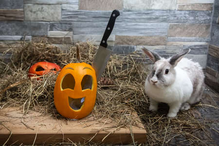 White rabbit looks at a knife that is stuck in the head of a Halloween pumpkin