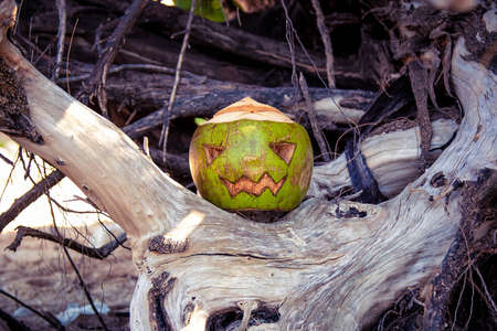 Coconut carved like a pumpkin for Halloween. Like a jack o lantern stands in the roots of a tree. Magenta toned image
