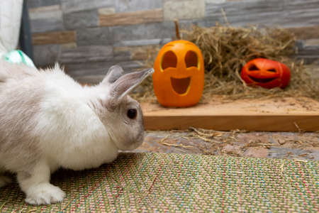 White rabbit is studying pumpkins for Halloween. Red and yellow jack o lanterns on a wooden board and stone wall background