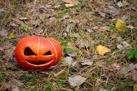 Orange Halloween pumpkin in the autumn forest on the withered grass and fallen needles of Christmas trees.