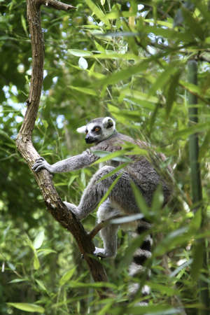 A vertical composition of a Ring Tailed Lemur climbing a tree.