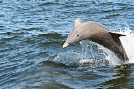 A dolphin leaping out of the water. 版權商用圖片