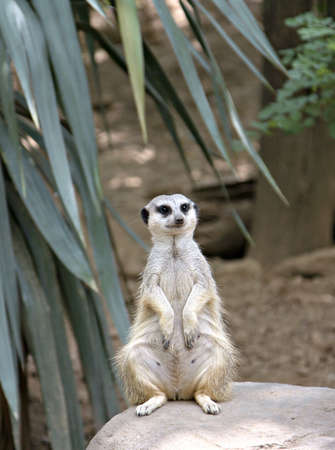 dug: A Meerkat standing upright on a rock as if on the lookout for danger.