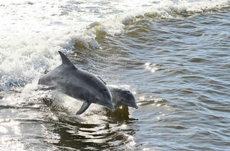 A mother dolphin and her calf jumping out of the water together. 版權商用圖片
