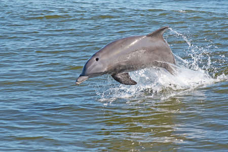 Dolphin jumping out of the water. photo
