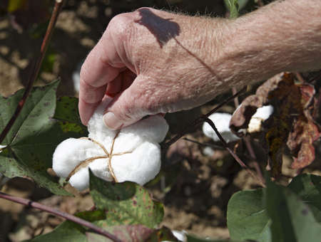 Close-up of a mans hand picking cotton from a field in South Alabama. Stock fotó