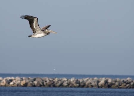 A pelican in flight over the water against a blue sky. photo