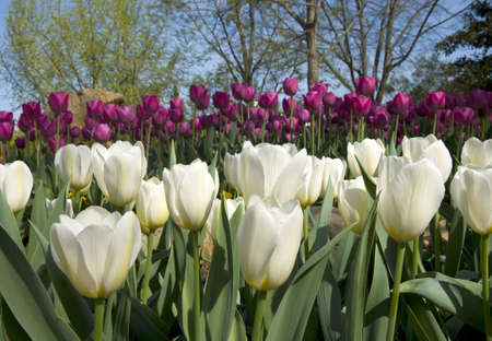 Tulips blooming in the spring.