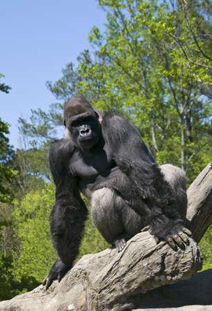 A gorilla stting on a fallen tree.