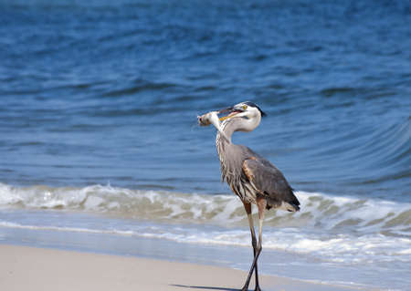 A Great Blue Heron with freshly caught dinner. Stock Photo