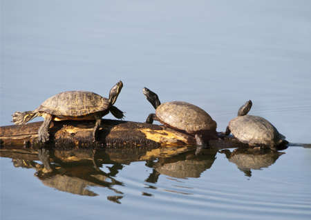 Three Box Turtles sunning on a log in the water.