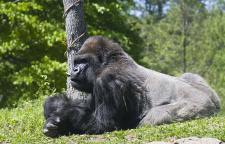 A Gorilla lying on the ground. photo