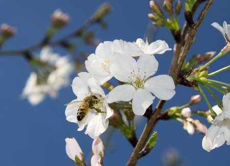 A Honey Bee collecting pollen from a yoshino cherry blossom. 版權商用圖片