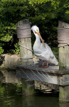 A White Pelican standing on the dock. 版權商用圖片