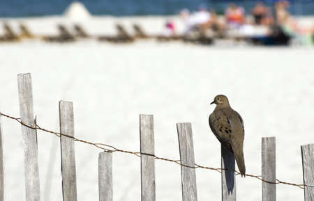 A Dove perched on a fence at the beach.