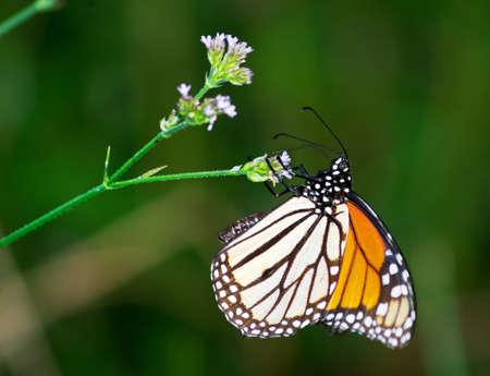 A Monarch butterfly feeding on a wildflower.