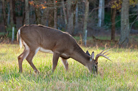 deer hunting: A grazing White Tail Deer.
