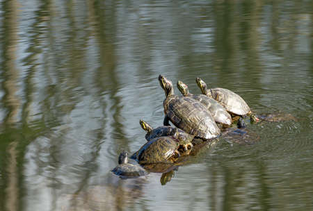 Turtles sunning on a log in the water. 版權商用圖片