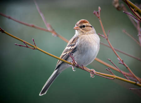 A Chipping Sparrow perched on a tree.