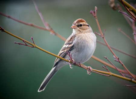 Een Chipping Sparrow zat op een boom. Stockfoto - 17815903