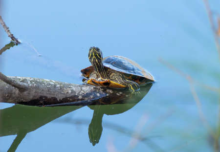 A Box Turtle sunning on a log in the water. 版權商用圖片