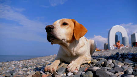 Thoroughbred dog with short hair sits on stones on a beach near the sea, close-up