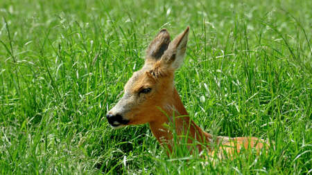 Fawn sits in the dense green grass with raised ears, close-up Standard-Bild