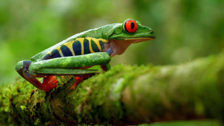 Red-eyed tree frog in its natural habitat in the Caribbean rainforest. Wildlife endangered species. Agalychnis callidryas, known as the red-eyed treefrog