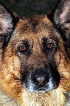German Shepherd head shot Reklamní fotografie