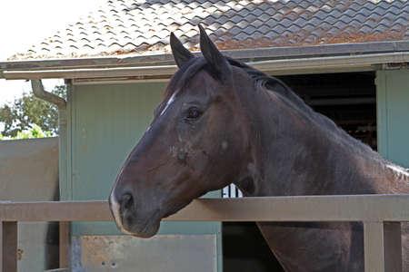 茶色の馬 写真素材