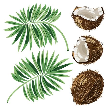 Coconuts with leaves. Vector illustration. Illustration