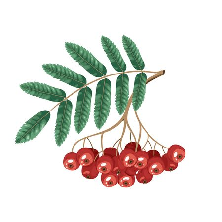 Rowan Bunch, Rowan Berries Isolated on White Background. Stock Photo