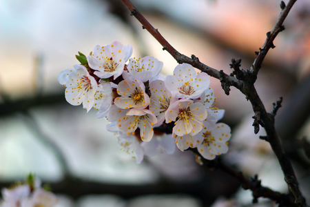 Spring. The awakening of nature. Apricot blossoms. Branch with flowers. Flowering tree