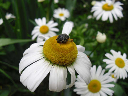 lamia: A black beetle sits on a camomile Stock Photo