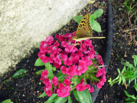 sits: Butterfly sits on Sweet William
