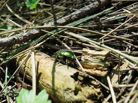 entomological: Green beetle crawling on a log and a small spider in the background Stock Photo