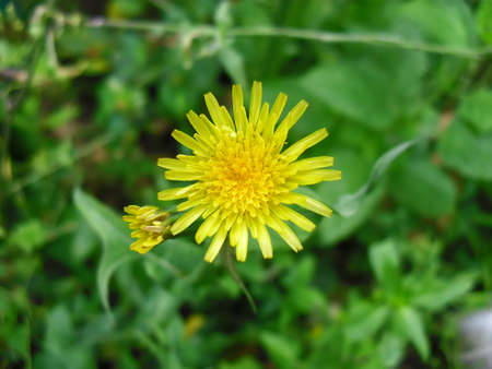 chamomile flower: chamomile yellow flower Stock Photo
