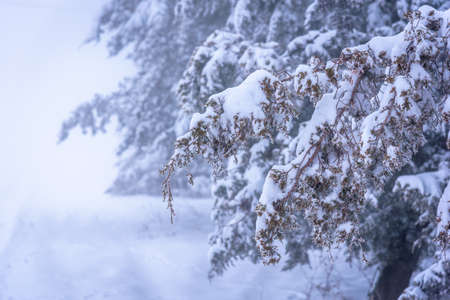 Juniper branch covered with snow in focus. Foggy background. Russia, Stary Krym.
