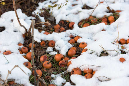 Orange apples lying in the snow