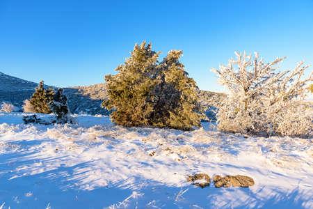 enebro: Frozen juniper trees Foto de archivo