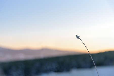 secale: Grass sunset close up